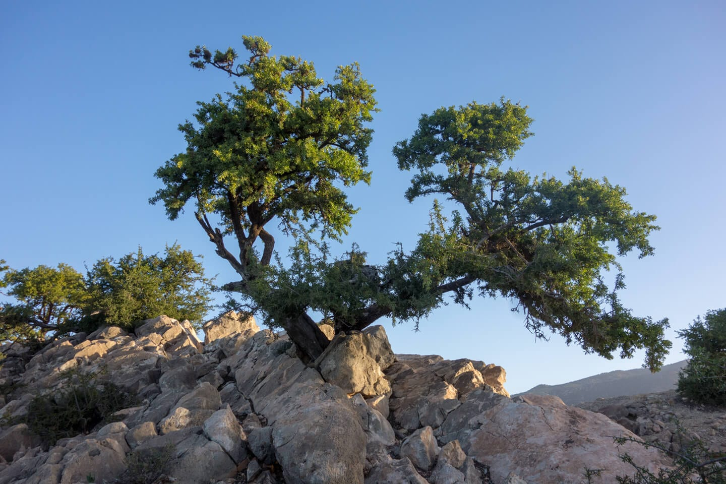 Magical old Argan Trees near the city of Aourir in Morocco