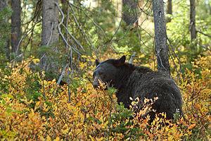 English: This female black bear had a small cu...