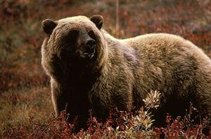 English: Brown Bear