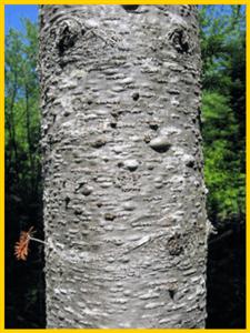 balsam tree