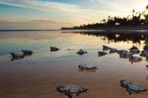 Projeto Tamar, apoiado pela Petrobras, já mobilizou mais de 150 colaboradores para monitorarem as praias. Eles coletarão dados para estudos e protegerão os ninhos até os filhotes nascerem e rumarem para o mar em segurança – Foto: Agência Petrobras/Divulgação