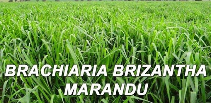 Brachiaria brizantha cv. Marandu