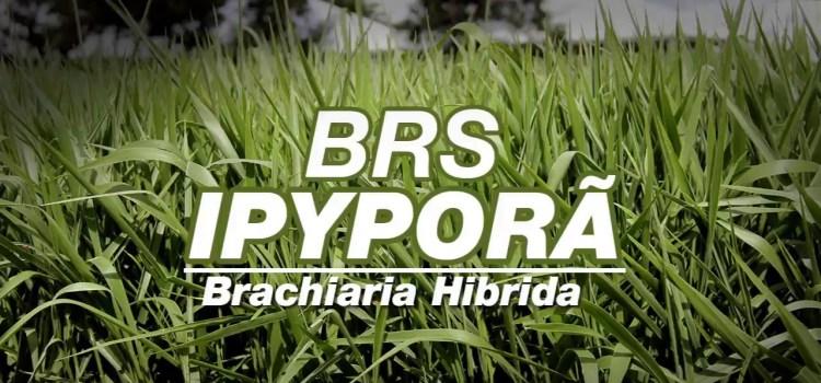 B. HÍBRIDA cv. BRS IPYPORÃ