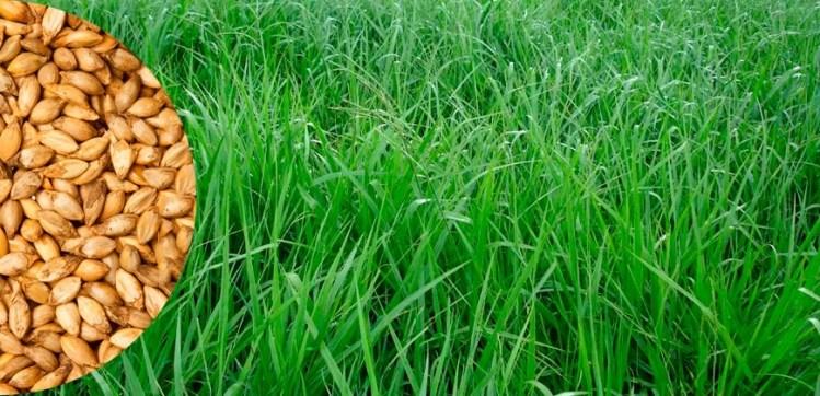 sementes-brachiaria-brs-piat-20-kg-safra-2018-D_NQ_NP_790992-MLB26549701531_122017-F - Cópia