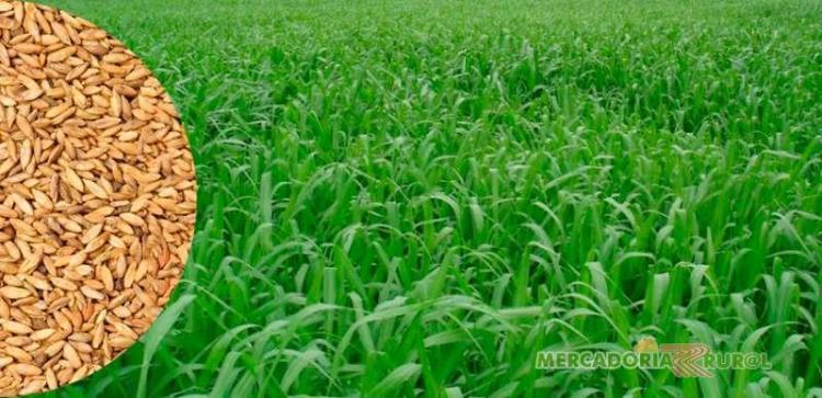 sementes-pastagens-forrageiras-sementes-gramineas-5539
