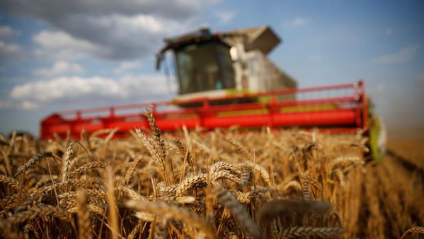 Trigo: El mejor precio a cosecha en 11 años | CAMPO total web
