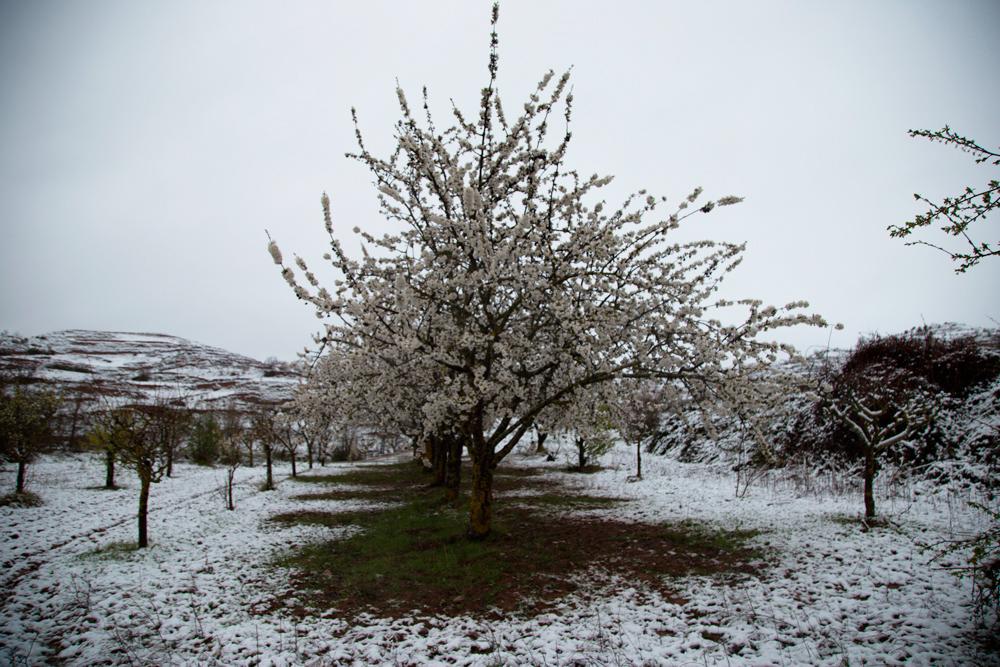Cerezos en flor y nieve