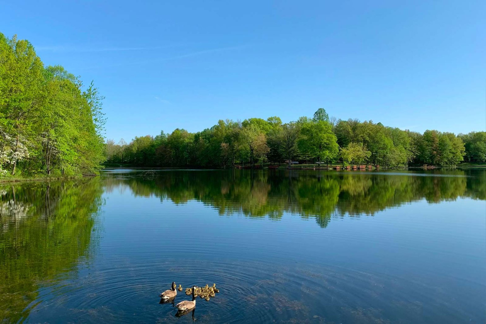 Blue lake with a family of swimming ducks surrounded by green trees