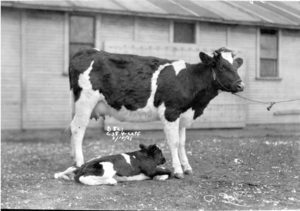 Cow and Calf in front of a Campus Barn circa 1926. Image courtesy of MSU Archives & Historical Collections