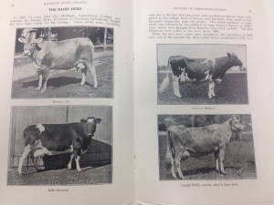 Prized cows of the early MSC dairy herd. Image courtesy of MSU Archives & Historical Collections.