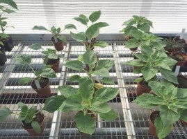 Sunflowers growing in our dwarf Helianthus branching trial behind the scenes at the Botanic Garden