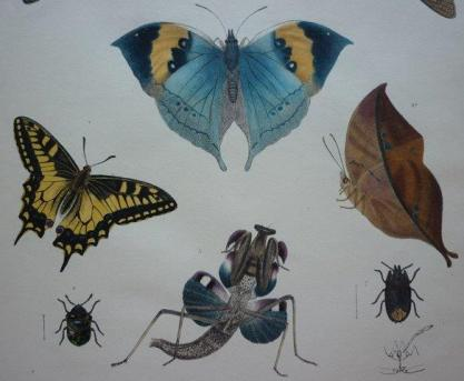 Butterflies and moths from Royle's 1839 volume