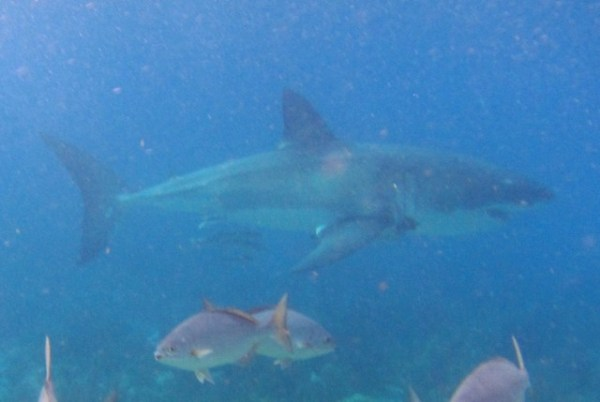 "Great White Shark Spotted in Islamorada ""Video"" - Canada ..."
