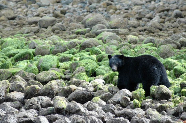 Editor 'Arris's boat trip let him get up close and personal with some bears. Photo: Destination British Columbia
