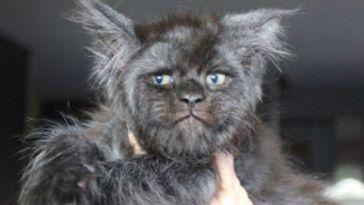 Rencontrez 'Valkyrie', le chat au visage humain