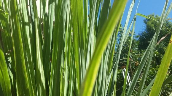 lemon grass repels mosquitoes