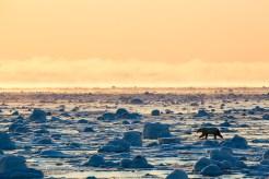 Polar bear, Nunavut, Canada. Photo by John E. Marriott.