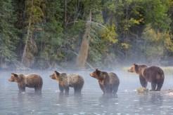 Grizzly bear family, British Columbia, Canada. Photo by John E. Marriott.