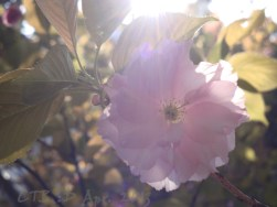 Blossom from Japanese Cherry tree