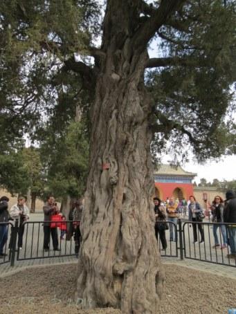 Beijing - tree of 9 dragons