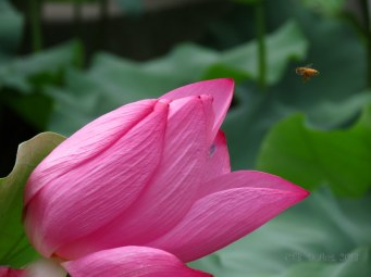 Can you spot the bee coming in for a landing?