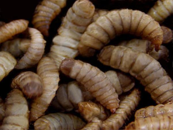 Ingenieros de una 'spin-off' de la UGR diseñan una granja de insectos en Murcia
