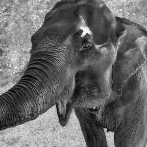 L'éléphant Happy au zoo de New York.