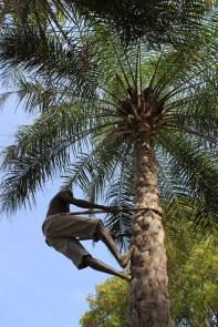 Récolte du vin de palme
