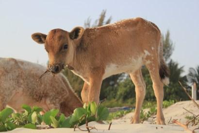 Vache sur plage du Cap 3
