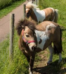 Shetland ponies - what can I say - cute?