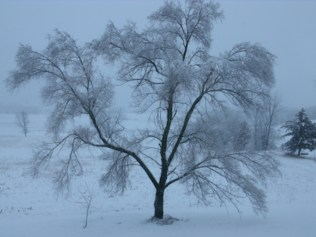 Lone tree in the winter.