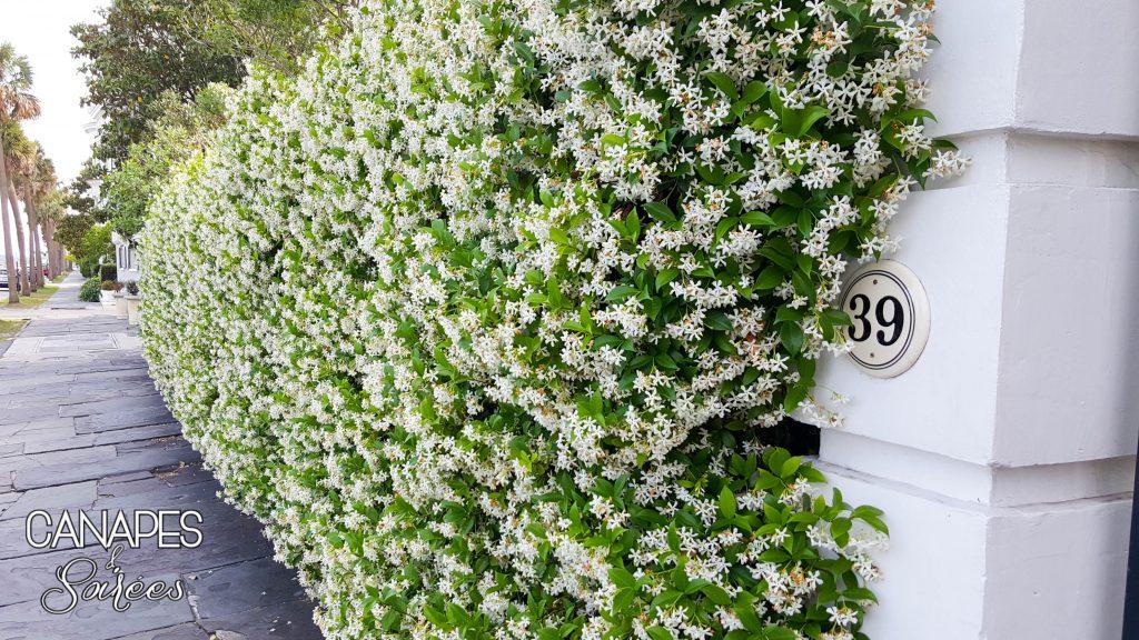 Charleston Wall of Jasmine