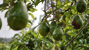 Agricultura garantiza que el nuevo escarabajo hallado en La Palma no supone un riesgo para el cultivo del aguacate