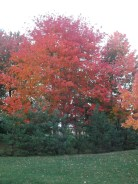 A Sugar Maple opposite my Aunt's home in the Annapolis Valley, N.S.