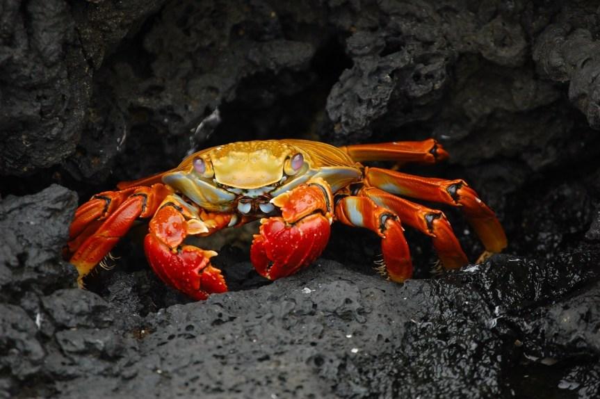 crab-63084_1280