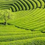 緑茶で死亡率減少:がん研究センター