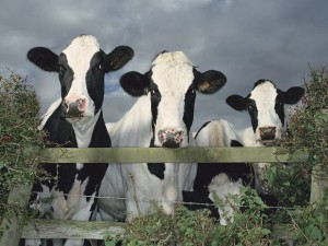 Hormones that promote the growth of cancer are found in dairy products