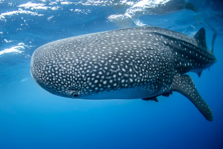 Whale Shark in Mexico