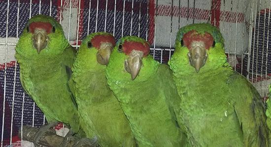 aves silvestres profepa