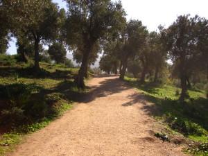 Solo in Morocco - Olive trees in Volubilis