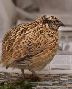 Sure the Japanese quail looks innocent--but what a ruckus he's caused.