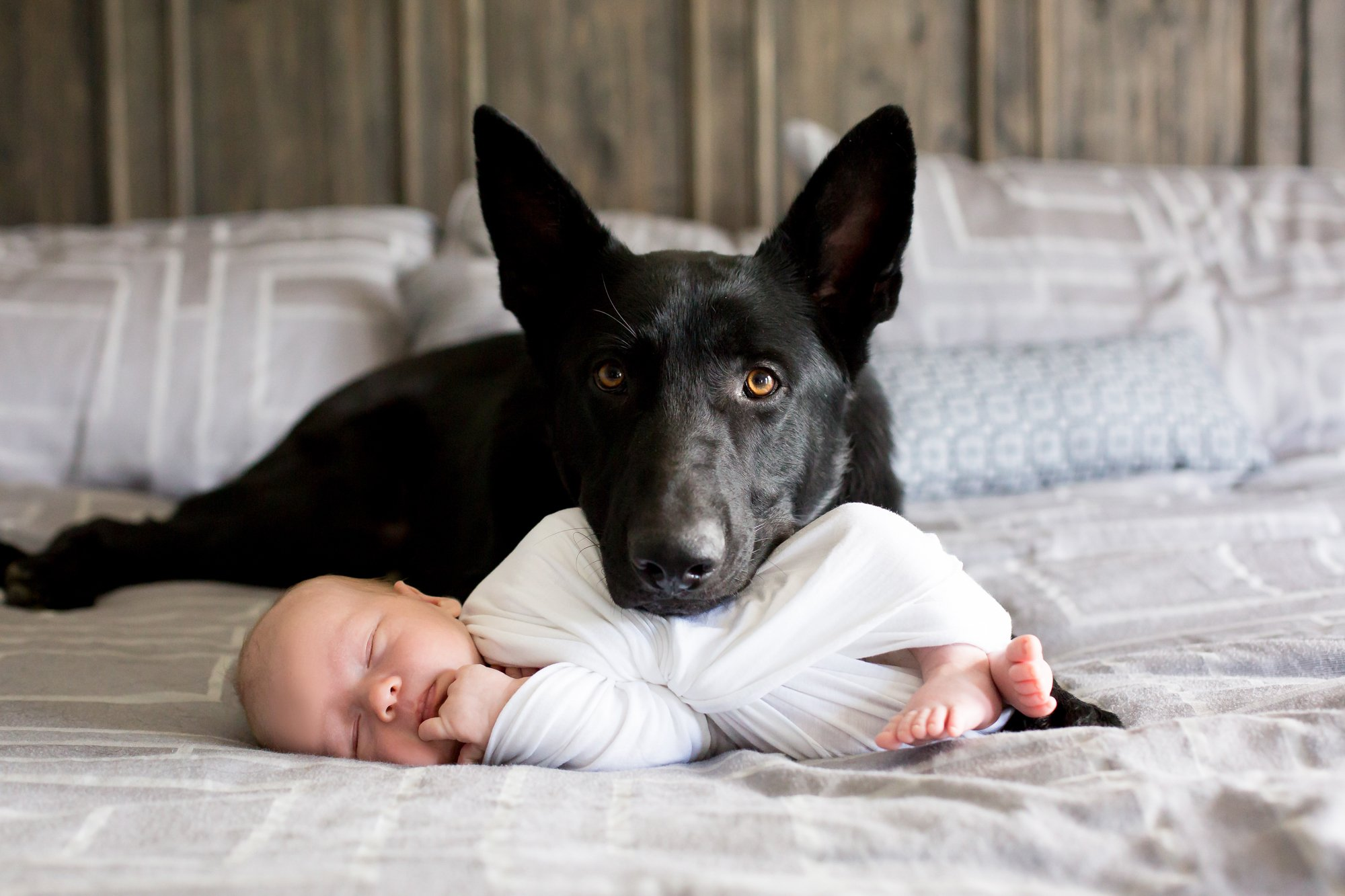 A black german shepherd laying with a newborn baby
