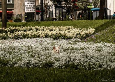 Chat du parc de Lima