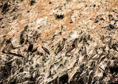 Pélicans des îles Ballestas