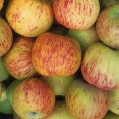 gravenstein apples