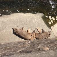 イノシシの ひなたぼっこ