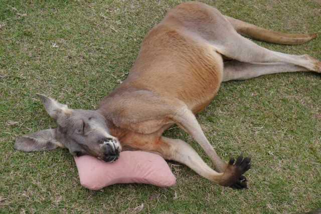 枕カンガルー 豆蔵の寝顔