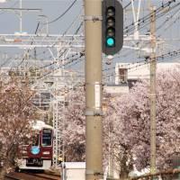 桜の中を走るあずき色の阪急電車。