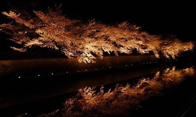 岡崎疎水桜ライトアップ