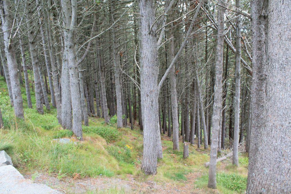 trees, wood, alesund, norway, aksla